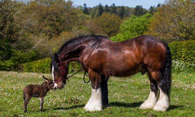 найбільша кінь у світі