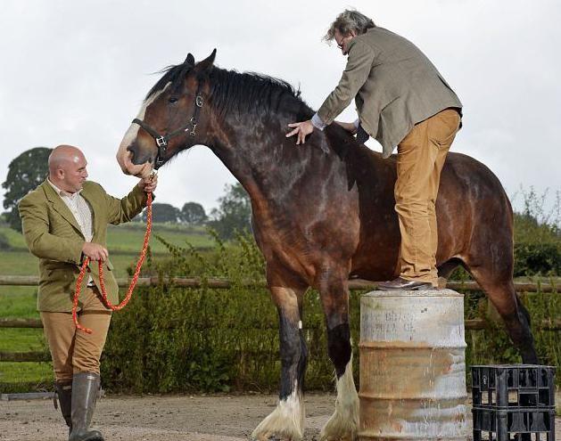 яка найбільша кінь у світі
