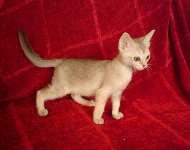 найменша порода кішок