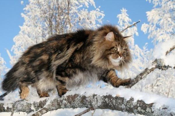 великі домашні кішки