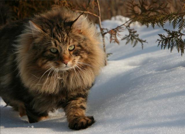 найбільші кішки порода