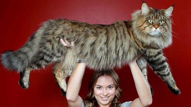 найбільший кіт у світі
