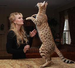 найбільший кіт порода