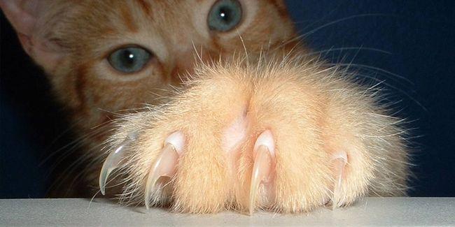 кігті у кішки на передніх лапах