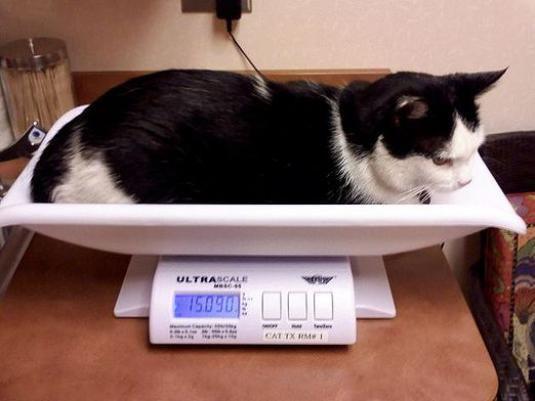 Скільки важить кішка?
