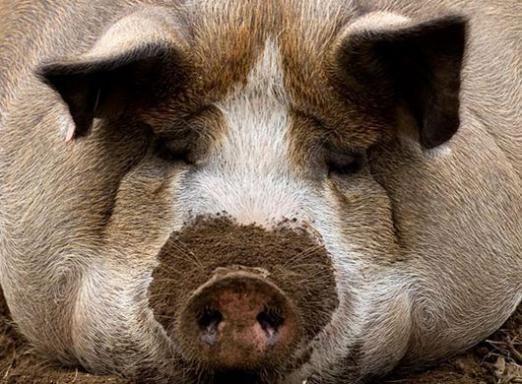 Скільки важить свиня?