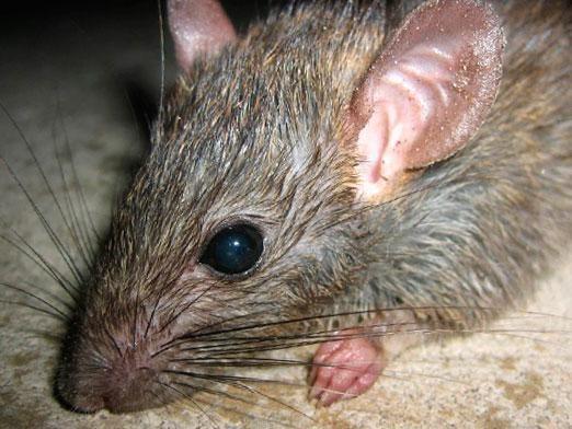 Скільки живуть щурі?