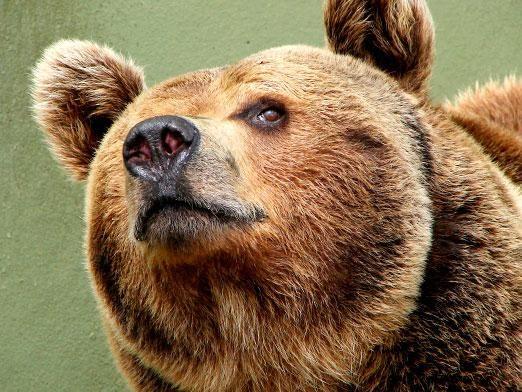 Скільки живуть ведмеді?
