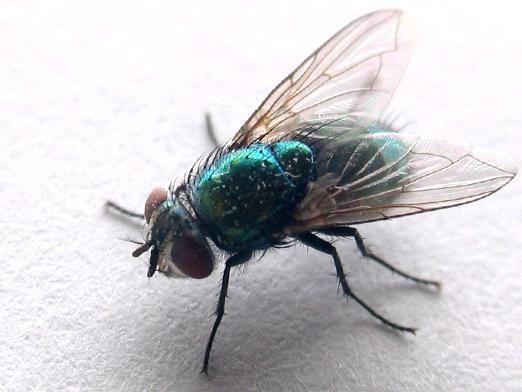 Скільки живуть мухи?
