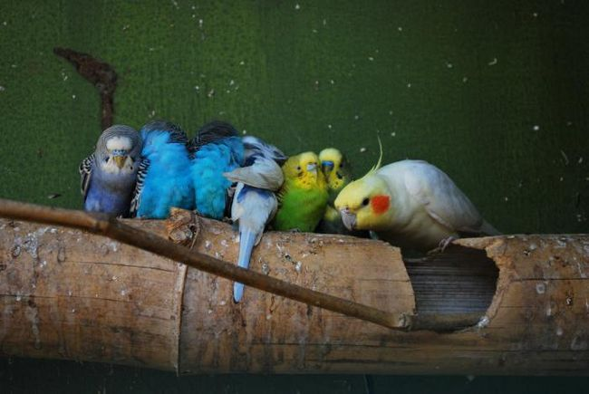 папуги Кореллі скільки живуть