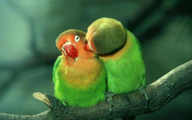 нерозлучники папуги скільки живуть