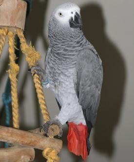 скільки живуть папуги ара