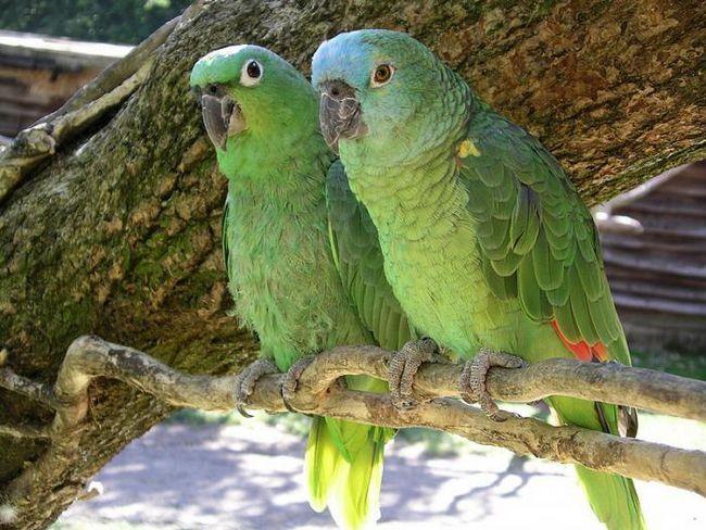 папуги фото