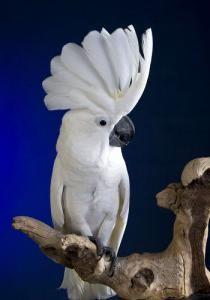 скільки живуть папуги какаду