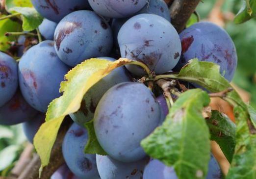 Слива - це ягода або фрукт?