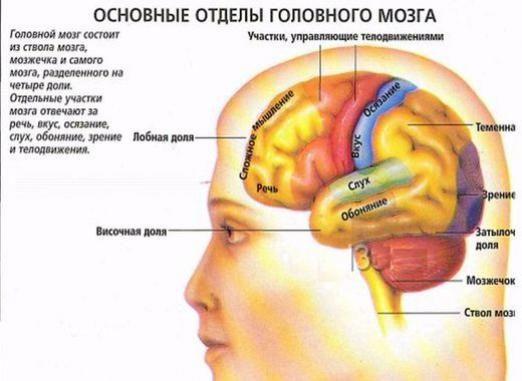 За що відповідає головний мозок?